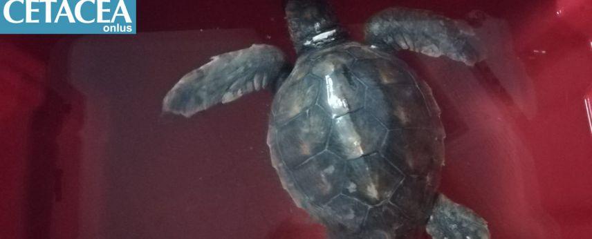 Tom torna a casa: il rilascio in mare della tartaruga spiaggiata a Fano lo scorso marzo